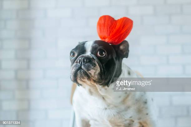 portrait of french bulldog with heart diadem - heart month stock photos and pictures