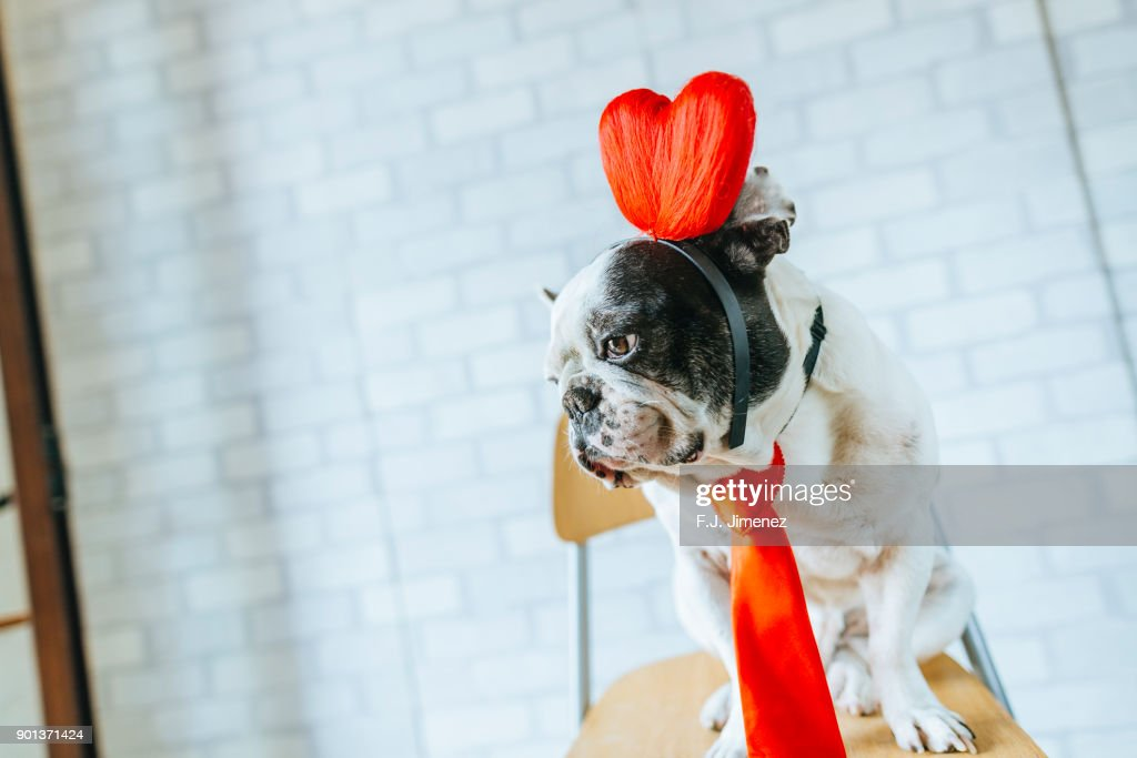 Portrait of french bulldog with heart diadem : Stock Photo