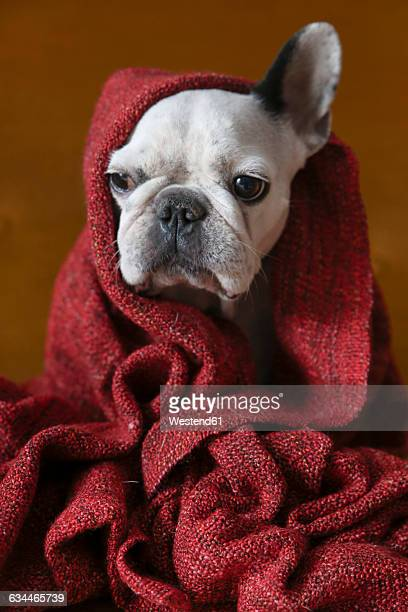 Portrait of French bulldog wrapped in red blanket