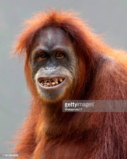 portrait of funny orang utan - funny monkeys stock pictures, royalty-free photos & images