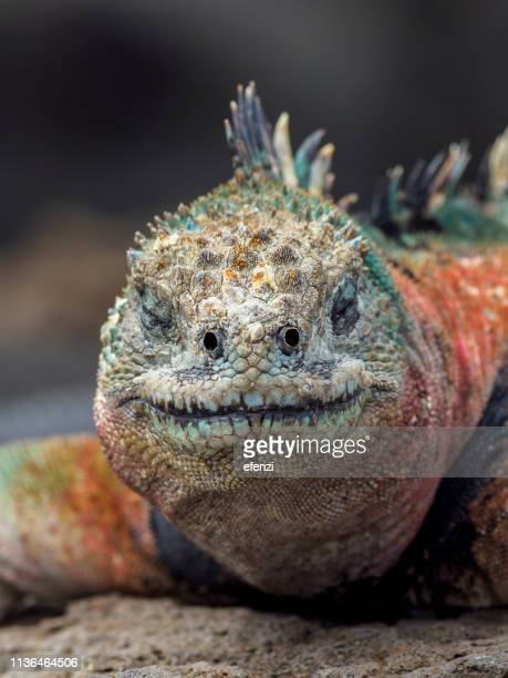 portrait of galapagos marine iguana - galapagos islands stock pictures, royalty-free photos & images