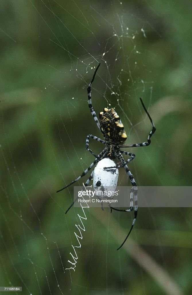 Portrait Of Garden Orb Web Spider Spinning Web High Res Stock