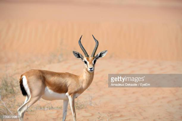 portrait of gazelle - wildlife reserve stock photos and pictures