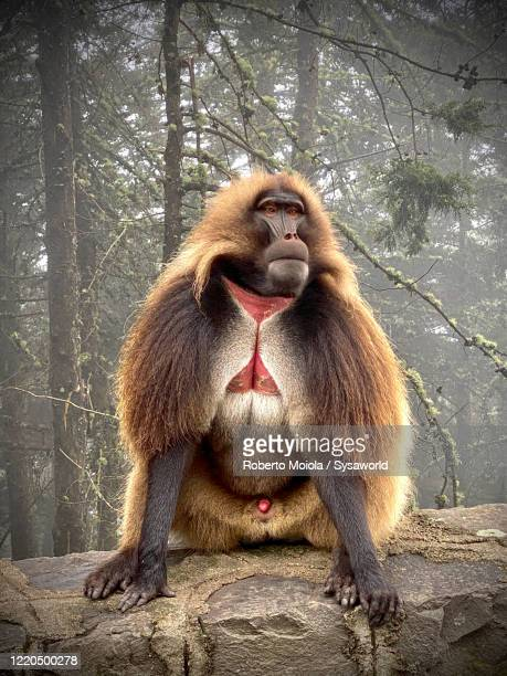 portrait of gelada baboon, ethiopia - ethiopia stock pictures, royalty-free photos & images