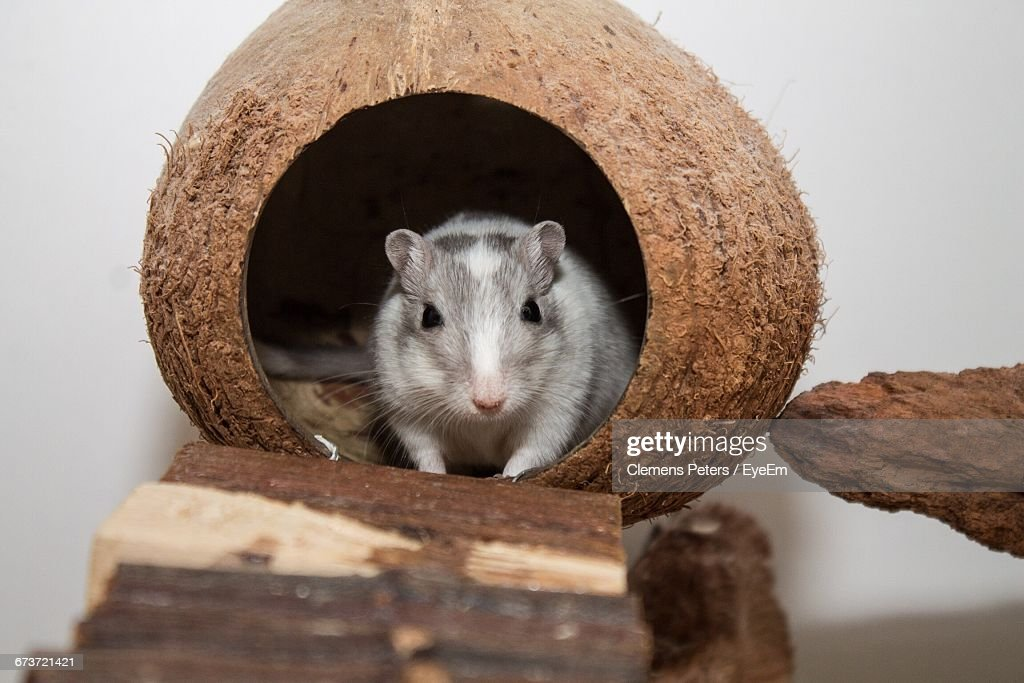 Portrait Of Gerbil In Coconut Shell : Stock Photo