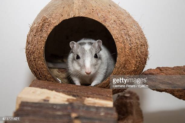 portrait of gerbil in coconut shell - gerbil - fotografias e filmes do acervo