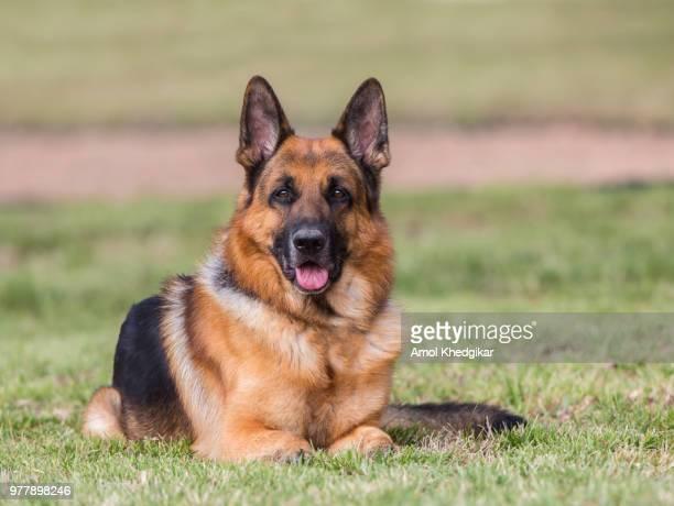 portrait of german shepherd dog lying on grass - berger allemand photos et images de collection