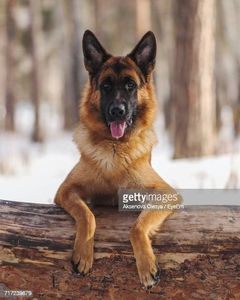 portrait of german shepherd - protruding stock pictures, royalty-free photos & images