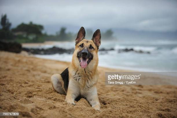 portrait of german shepherd sticking out tongue at beach - german shepherd stock pictures, royalty-free photos & images