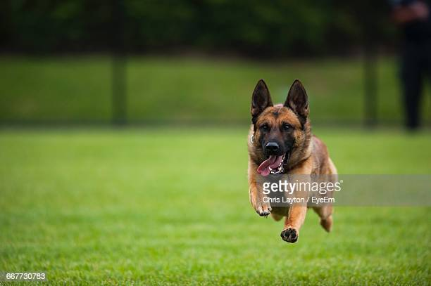 portrait of german shepherd sticking out tongue while running on field - berger allemand photos et images de collection
