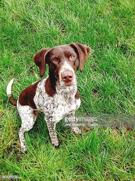 portrait of german shorthaired pointer sitting on grass - german shorthaired pointer stock pictures, royalty-free photos & images