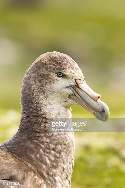 portrait of giant petrel - st andrews bay stock pictures, royalty-free photos & images