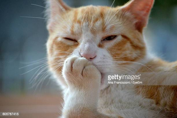 Portrait Of Ginger Cat Licking Paw