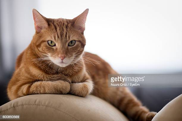 Portrait Of Ginger Cat Lying On Sofa At Home