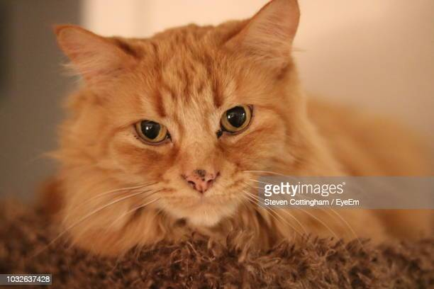 portrait of ginger cat on rug - steven cottingham stock-fotos und bilder