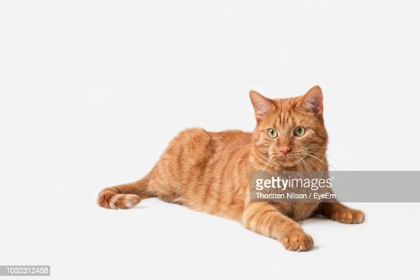 Portrait Of Ginger Cat Sitting Against White Background