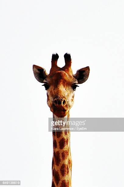 Portrait Of Giraffe Against White Background