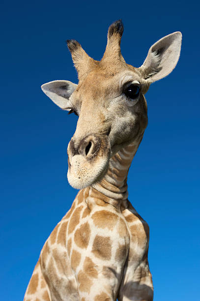 Portrait of Giraffe (Giraffa Camelopardalis) looking at camera, Namibia.