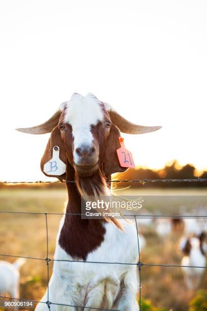 Portrait of goat behind fence on field against clear sky