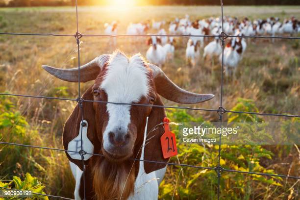 Portrait of goat behind fence on field