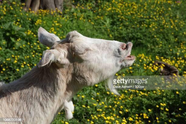 Portrait of goat on meadow