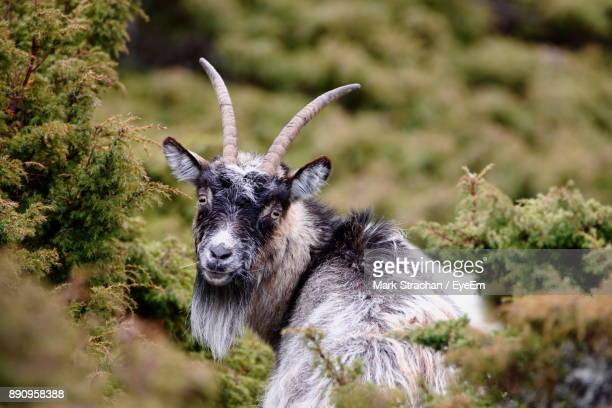 Portrait Of Goat Standing Amidst Plants