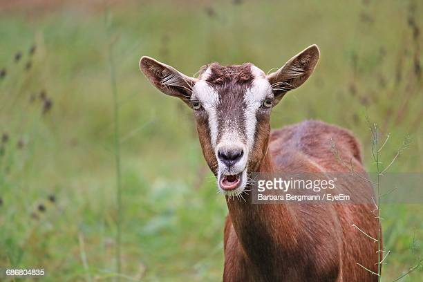 portrait of goat standing on field - goats stock pictures, royalty-free photos & images