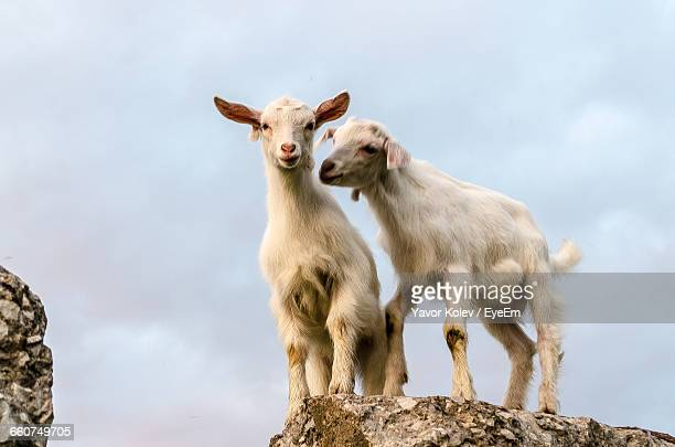 Portrait Of Goats Against The Sky