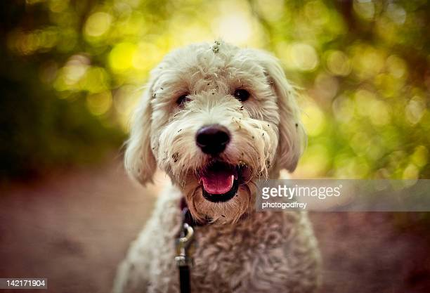 portrait of golden doodle - goldendoodle stock-fotos und bilder