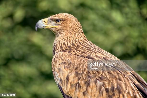 Portrait Of Golden Eagle Or Imperial Eagle