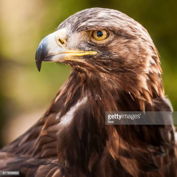 portrait of golden eagle (aquila chrysaetos) - aquila reale foto e immagini stock