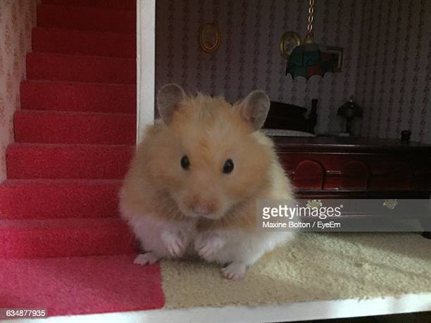 portrait of golden hamster by steps at home - golden hamster stock pictures, royalty-free photos & images