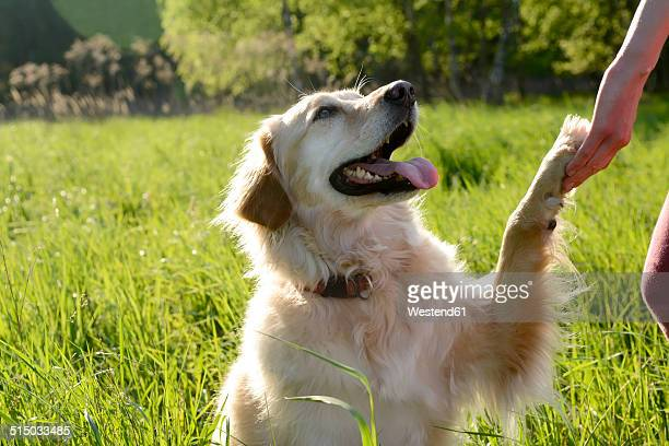 portrait of golden retriever giving paw - golden retriever stock pictures, royalty-free photos & images
