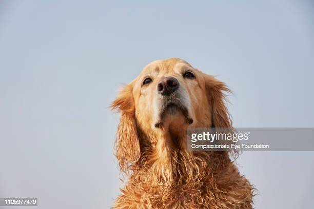 Portrait of Golden Retriever on beach