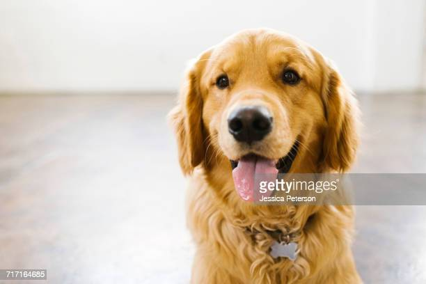 portrait of golden retriever - golden retriever stock pictures, royalty-free photos & images