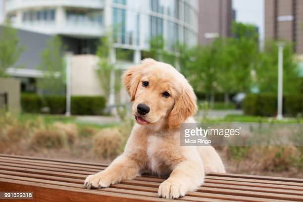 portrait of golden retriever puppy in city - golden retriever stock pictures, royalty-free photos & images