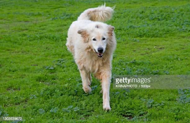 portrait of golden retriever running on grassy field,italia,italy - italia stockfoto's en -beelden