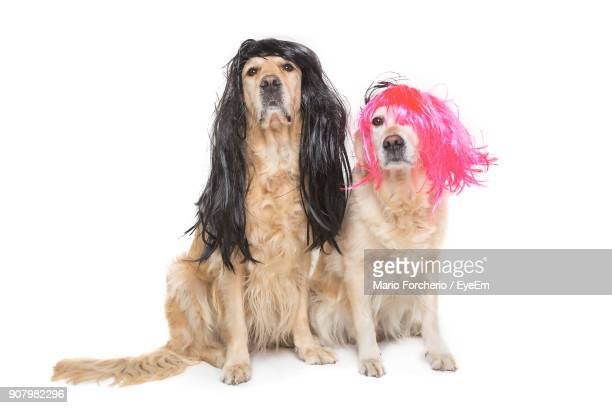Portrait Of Golden Retrievers Wearing Wigs Against White Background