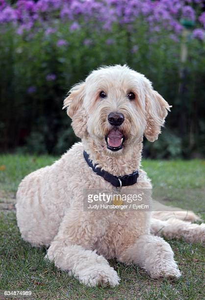 portrait of goldendoodle sitting on grassy field at park - goldendoodle stock-fotos und bilder
