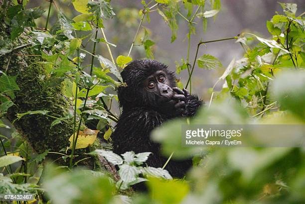 portrait of gorilla infant at forest - uganda stock pictures, royalty-free photos & images