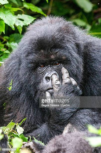 Portrait Of Gorilla Picking Nose In Forest