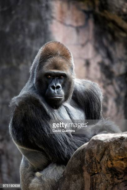 portrait of gorilla - gorilla stock pictures, royalty-free photos & images