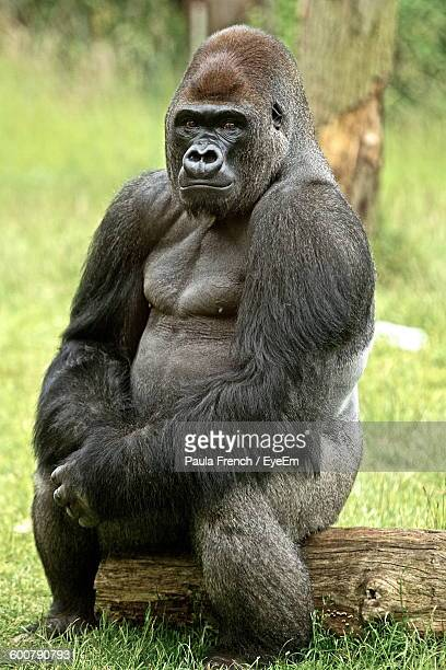Portrait Of Gorilla Sitting On Tree Stump