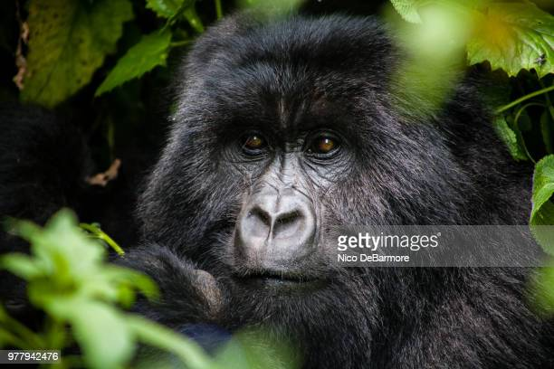 portrait of gorilla surrounded by green leaves, goma, democratic republic of the congo - virunga national park stock pictures, royalty-free photos & images