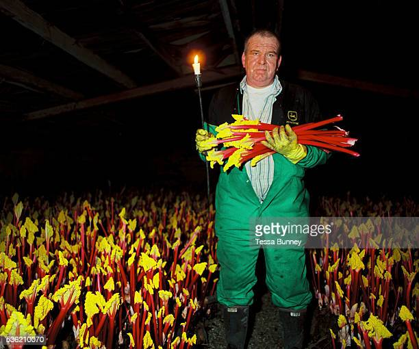 Portrait of Graham Oldroyd whilst pulling rhubarb in the forcing shed by candlelight E Oldroyd and sons Ltd Carlton Wakefield West Yorkshire UK...