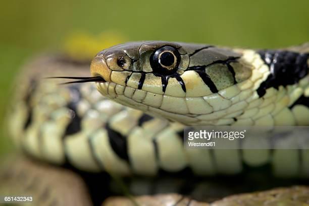 portrait of grass snake - ヨーロッパヤマカガシ ストックフォトと画像