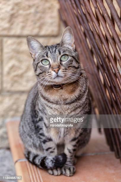 portrait of gray tabby cat on floor. - mjrodafotografia fotografías e imágenes de stock