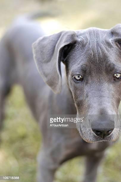 Portrait of Great Dane Dog Outside