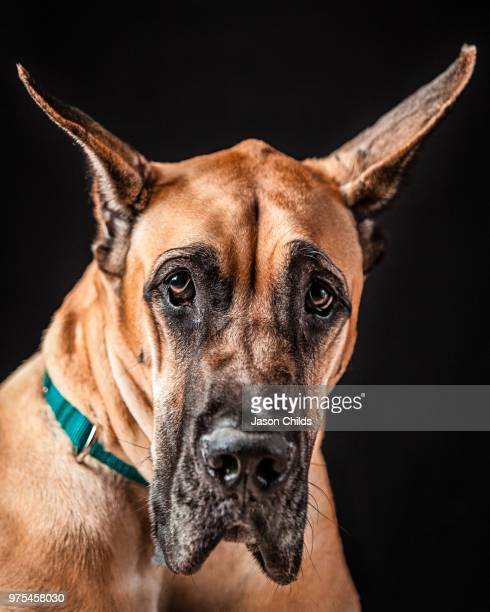 portrait of great dane on black background - great dane stock pictures, royalty-free photos & images