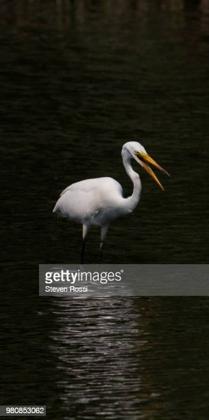 Portrait of great egret (Ardea alba) standing in water